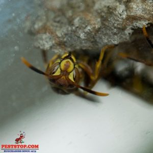 Yelm Wasp Control